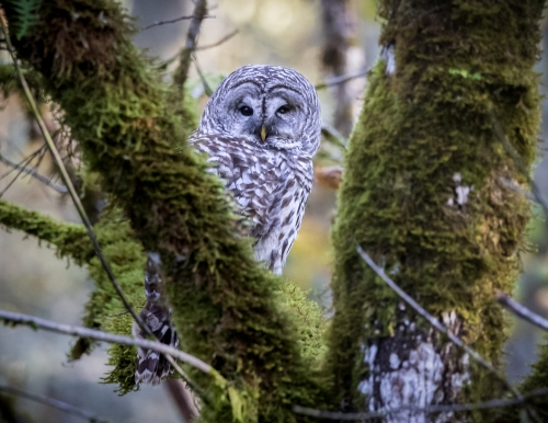 Barred Owl -1116