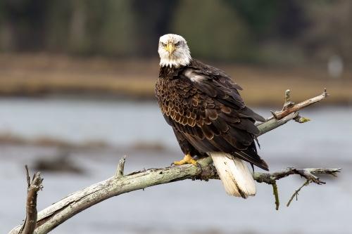 Bald Eagle #1860