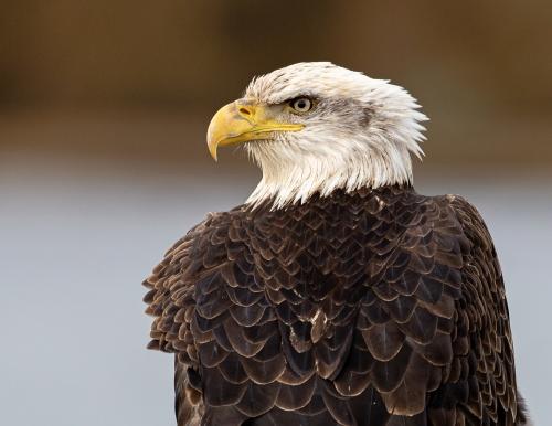 Bald Eagle #2053