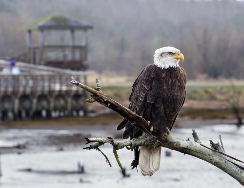 Bald Eagle #2117
