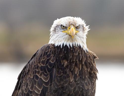 Bald Eagle #2120