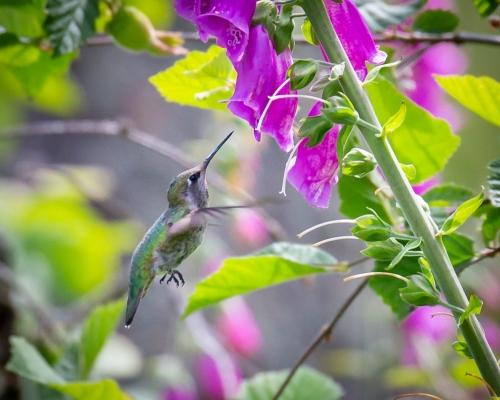 Hummingbird-4563