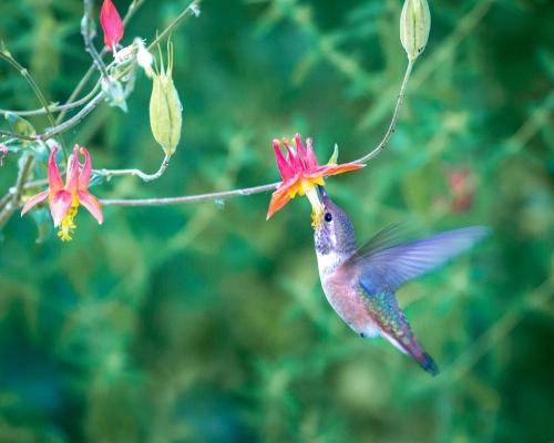 Hummingbird-4660