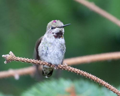 Hummingbird-4997