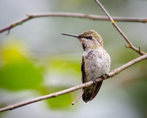 Hummingbird-5164