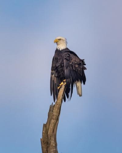 Bald Eagle-6699