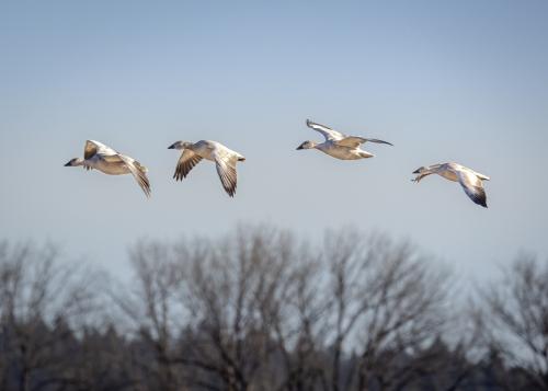 Snow Geese-6989