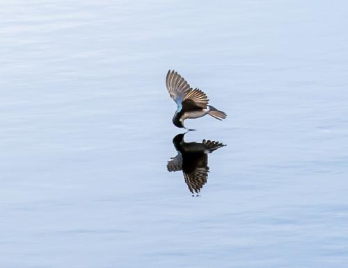 Barn Swallow #7962