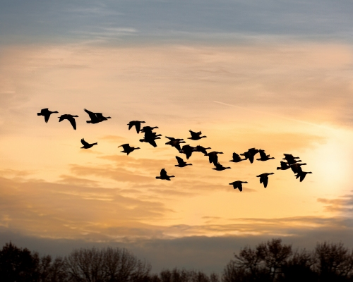 Geese at Sunset #8007