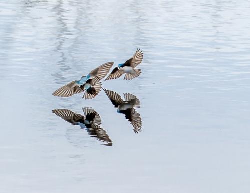 Barn Swallows #8067