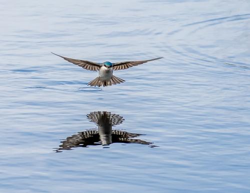 Barn Swallow #8115