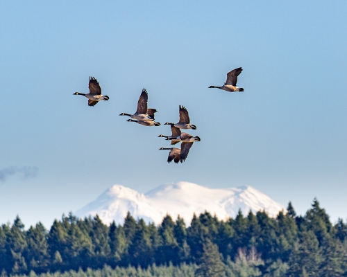 Geese and Rainier #8528