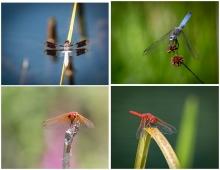 Dragonflies - Set #1