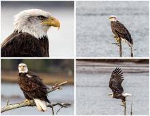 Eagle - Set #1