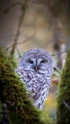 Barred Owl 1116