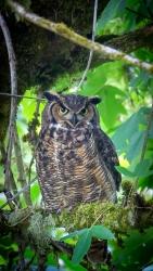Great Horned Owl 3957