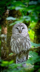 Barred Owl 4000