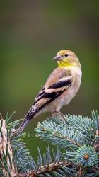 Goldfinch 4003