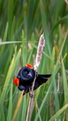 Red-winged blackbird 4155