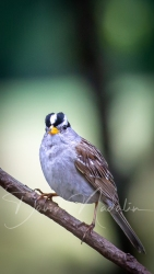 White-crowned Sparrow 4915