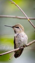 Hummingbird 5164