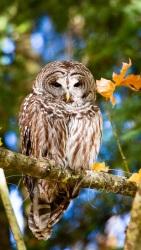 Barred Owl 6593