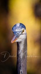 Great Blue Heron 7108