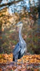 Great Blue Heron 7137